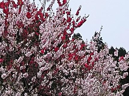4月18日新庄村の桜