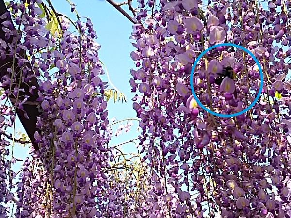 4月30日藤と蜂
