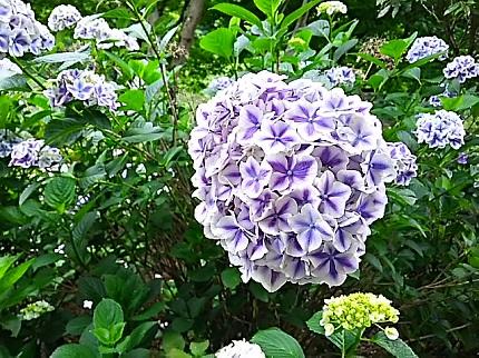 6月27日紫陽花3