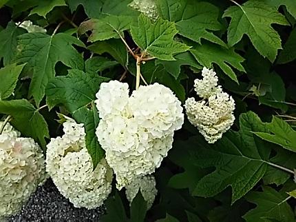 6月27日紫陽花2