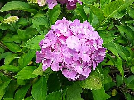 6月27日紫陽花