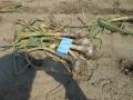 ニンニクの収穫 1_01