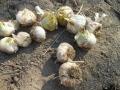 ニンニクの収穫 3_01