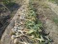 ニンニクの収穫 4_01