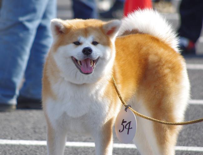 秋田犬02
