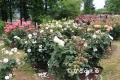 IMG_2175 香りのバラ園