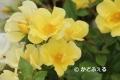 リモンチェロIMG_2260