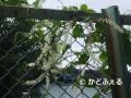 P1200221 雲南草