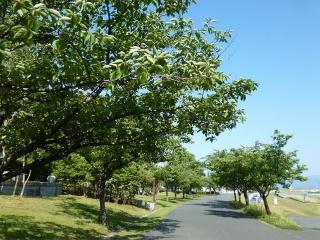 桜並木 (320x240)