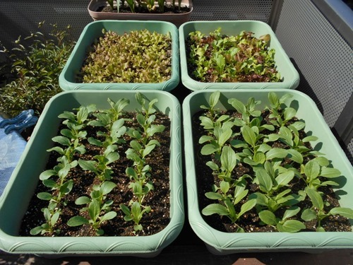 160419tingensai&lettuce
