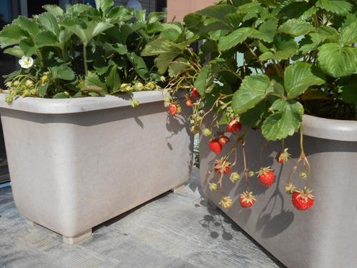 160513strawberries2
