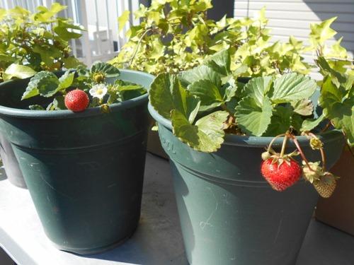 160513strawberries3