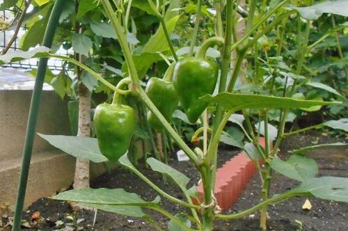 160607green_pepper2
