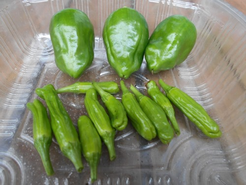 160607green_pepper3
