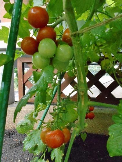 160625mini_tomato4