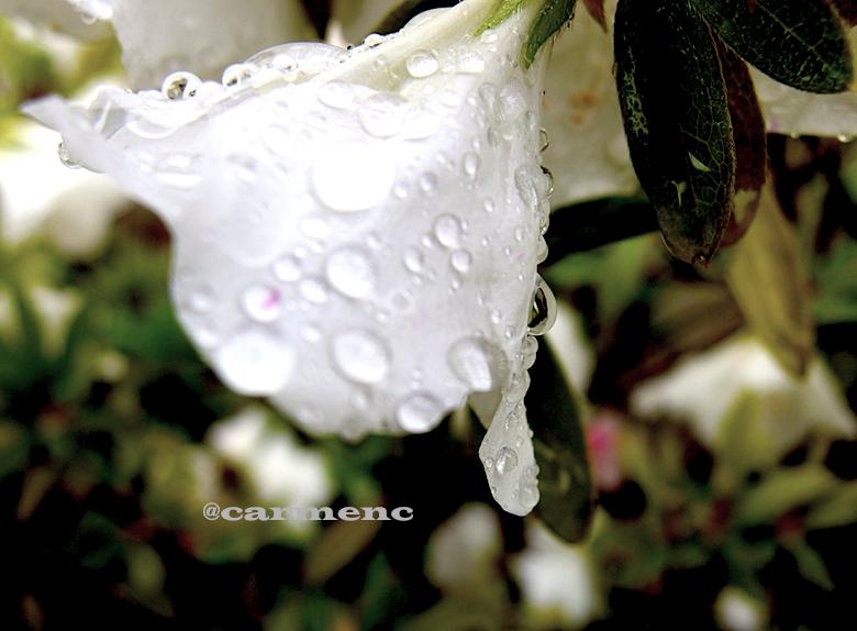 雨のツツジ