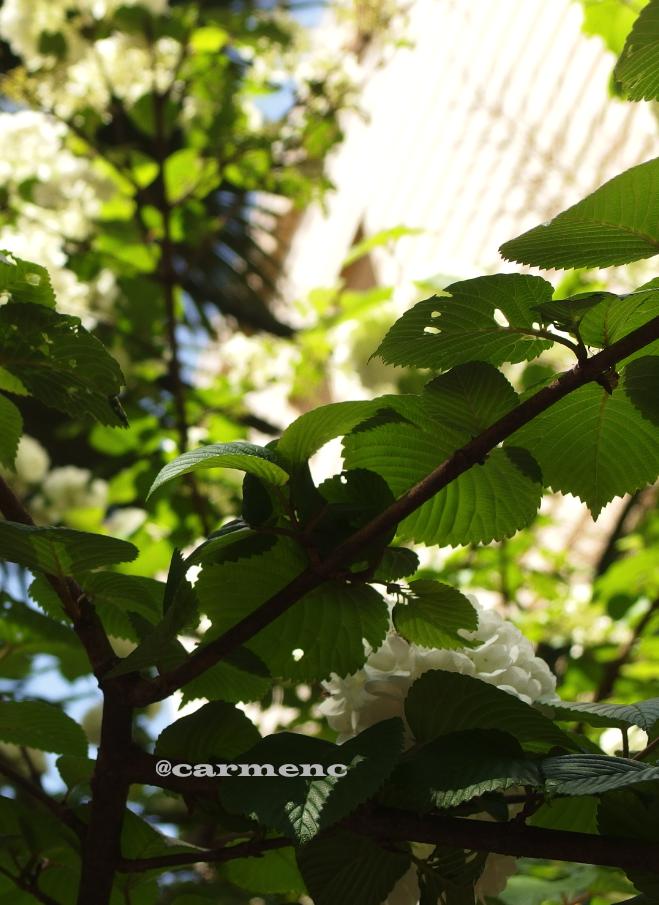 オオデマリと木洩れ日