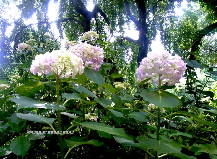 光を受けて紫陽花