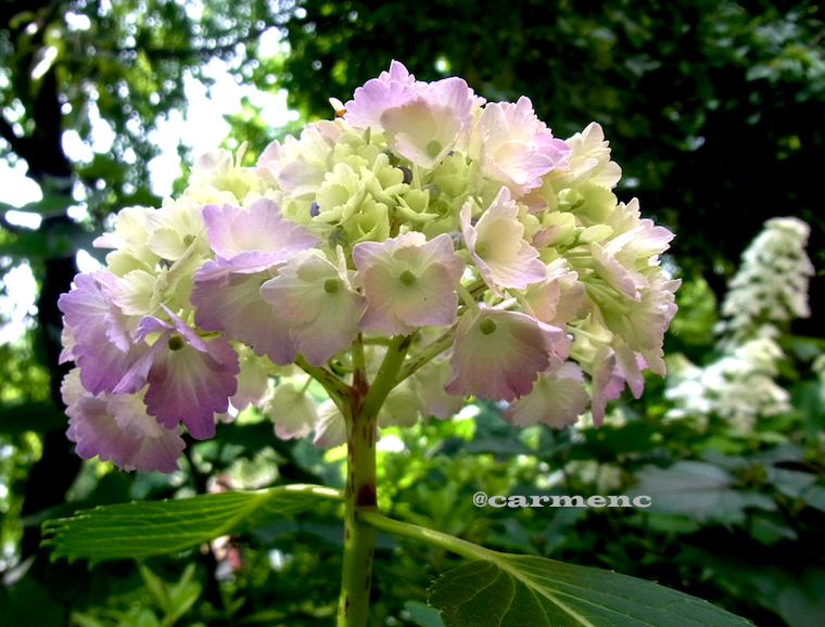 紫陽花ピンク系