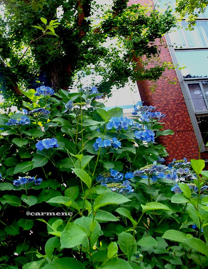 青の紫陽花の咲く花壇と銀行