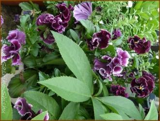 20160414  紫 1  春の花