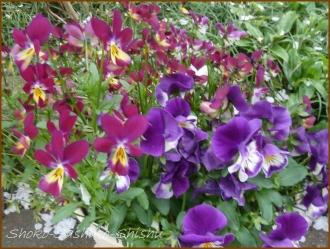 20160414  紫 2  春の花