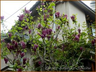 20160414  紫 3  春の花