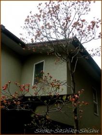 20160414 花水木 1  春の花