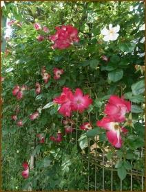20160515  薔薇  2  5月の花