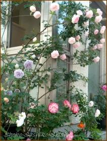 20160515  薔薇  3  5月の花