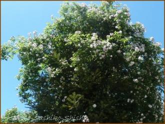20160515  薔薇  4  5月の花
