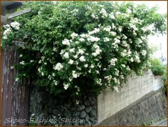 20160515  薔薇  5  5月の花