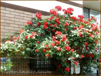 20160515  薔薇  6  5月の花