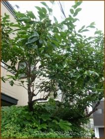 20160610  柿  3  梅雨の実