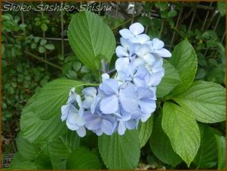20160616  お気に入り  1  紫陽花