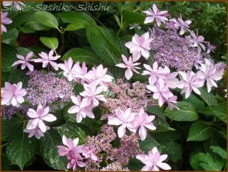 20160616  お気に入り  3  紫陽花