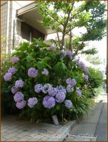 20160616  植え込み  1  紫陽花