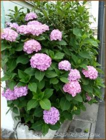 20160616  植え込み  2  紫陽花