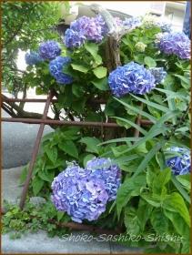 20160616  植え込み  3  紫陽花