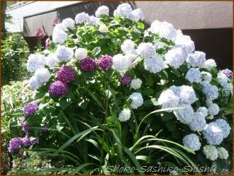 20160616  植え込み  4  紫陽花