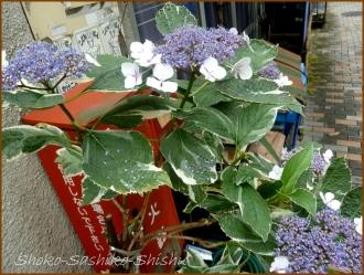 20160616  植木鉢  2  紫陽花
