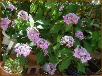 20160616  植木鉢  3  紫陽花