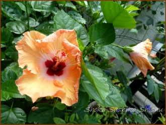 20160814  色々  1  夏の花と