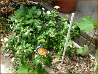 20160814  蝶々  1  夏の花と
