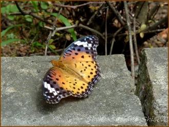 20160814  蝶々  2  夏の花と