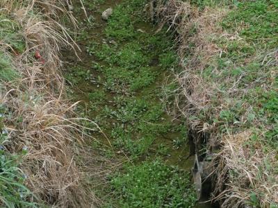コタネツケバナの生育環境