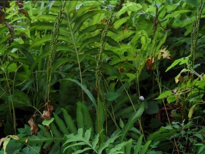 コウヤワラビの胞子葉