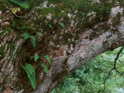 シナノキの大木に着生したシダ