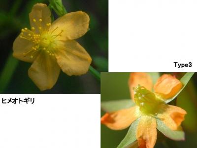 Type3とヒメオトギリの花の比較