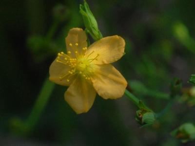 ヒメオトギリの花